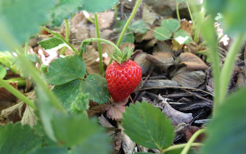 bl_strawberry_01